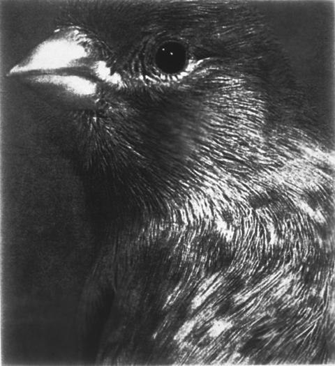 Bird Portrait, Gelatin Silver Print 55in x 50in, 2000-1