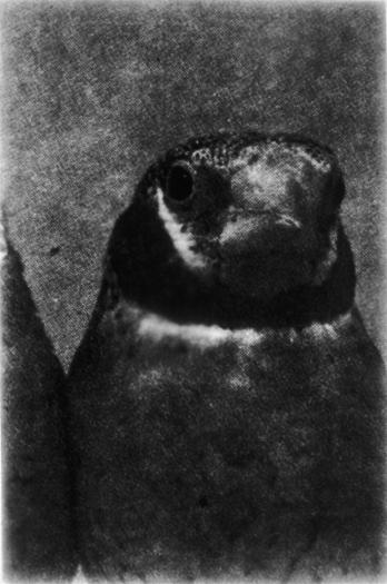 Bird/Solo, Gelatin Silver Print, 75in x 50in, 2000-1