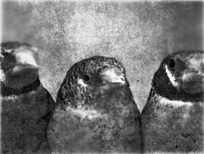 Three Birds/Front View, Gelatin Silver Print, 50