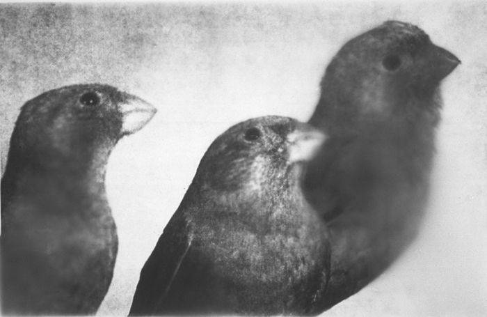 Three Birds/Profile, Gelatin Silver Print, 50
