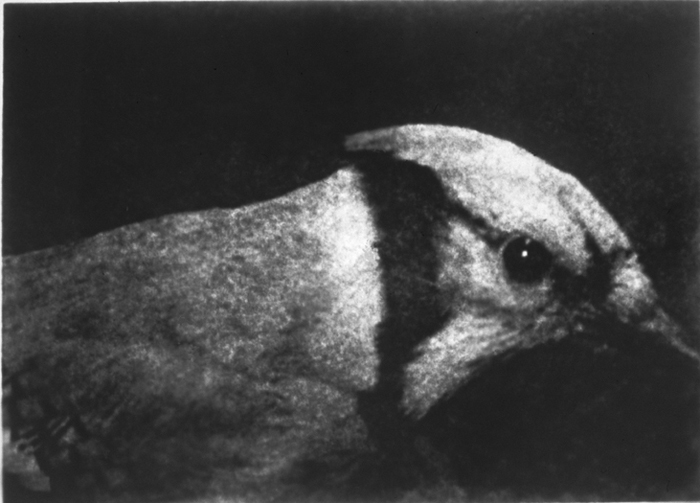 Bird/Side View, Gelatin Silver Print, 50in x 70in, 2000-1
