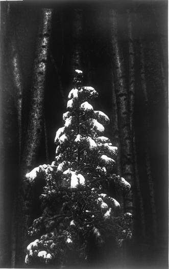 Tree/Tree Trunks, Gelatin Silver Print, 68in x 42in, 2005-6